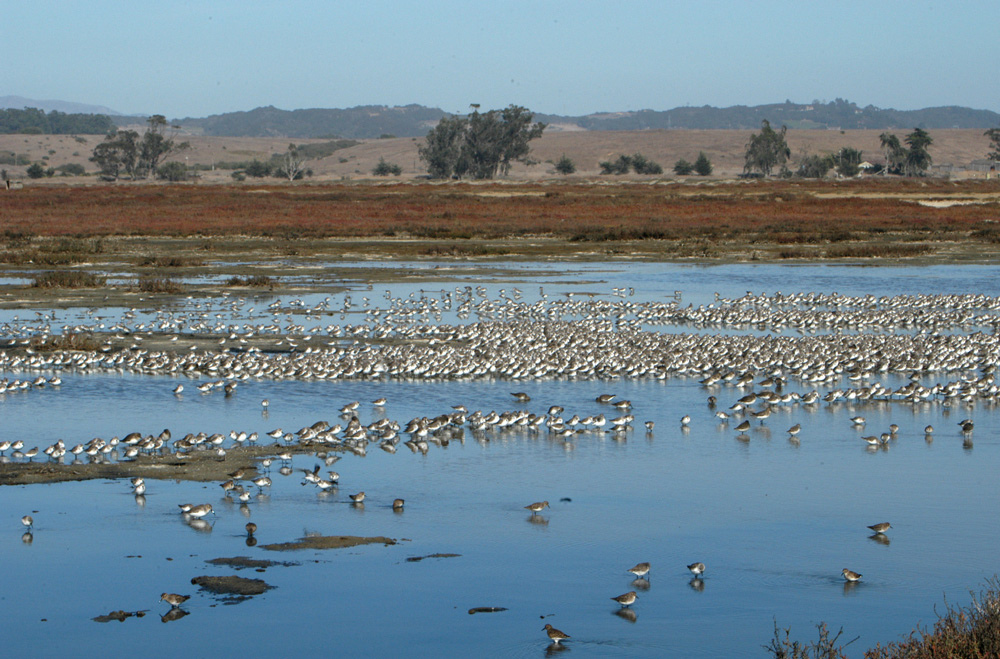 Elkhorn_Slough_marsh_birds.jpg