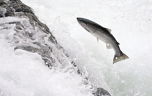 RESTORING THE S.F. CREEK'S NATIVE STEELHEAD TROUT POPULATION