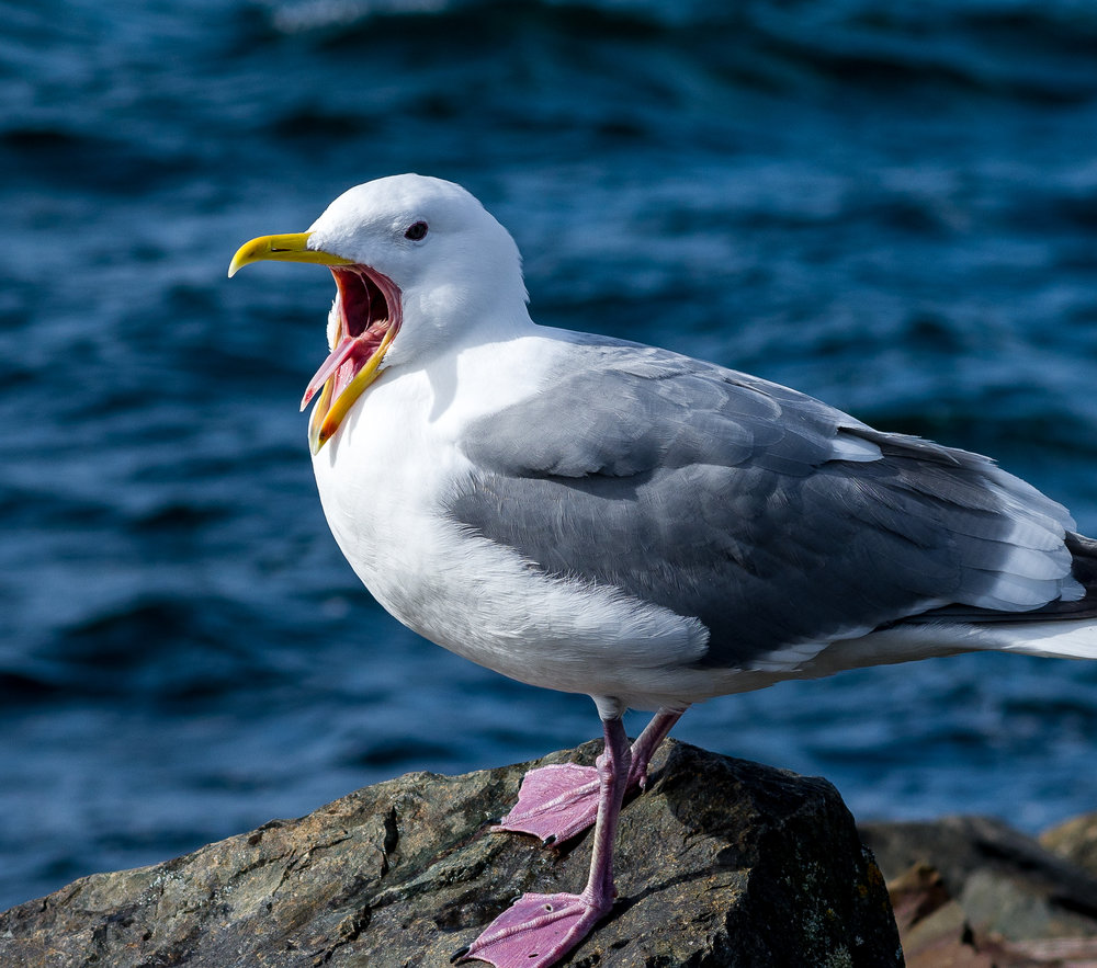 Yawning Seagull   Photo by Kevin Ehlers - Nikon d810 + 85mm f/1.8 @ f/5.6, 1/1000