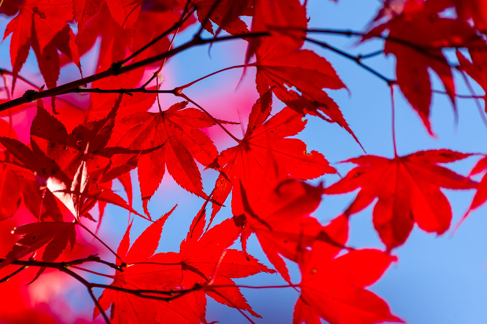 Red Maple Leaves and a Blue Sky   Photo by Kevin Ehlers.  Nikon d810 + 80-400mm, @f5.6, 380mm, ISO 100
