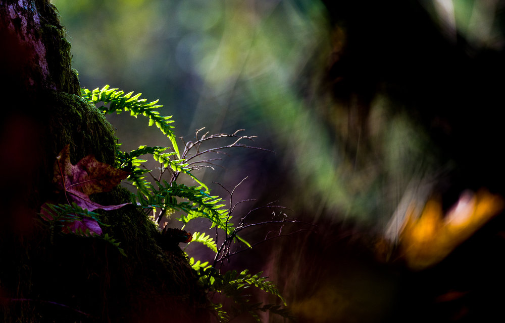 Ferns in the Forest   Photo by Kevin Ehlers. Nikon d810 + 80-400mm @ 400mm