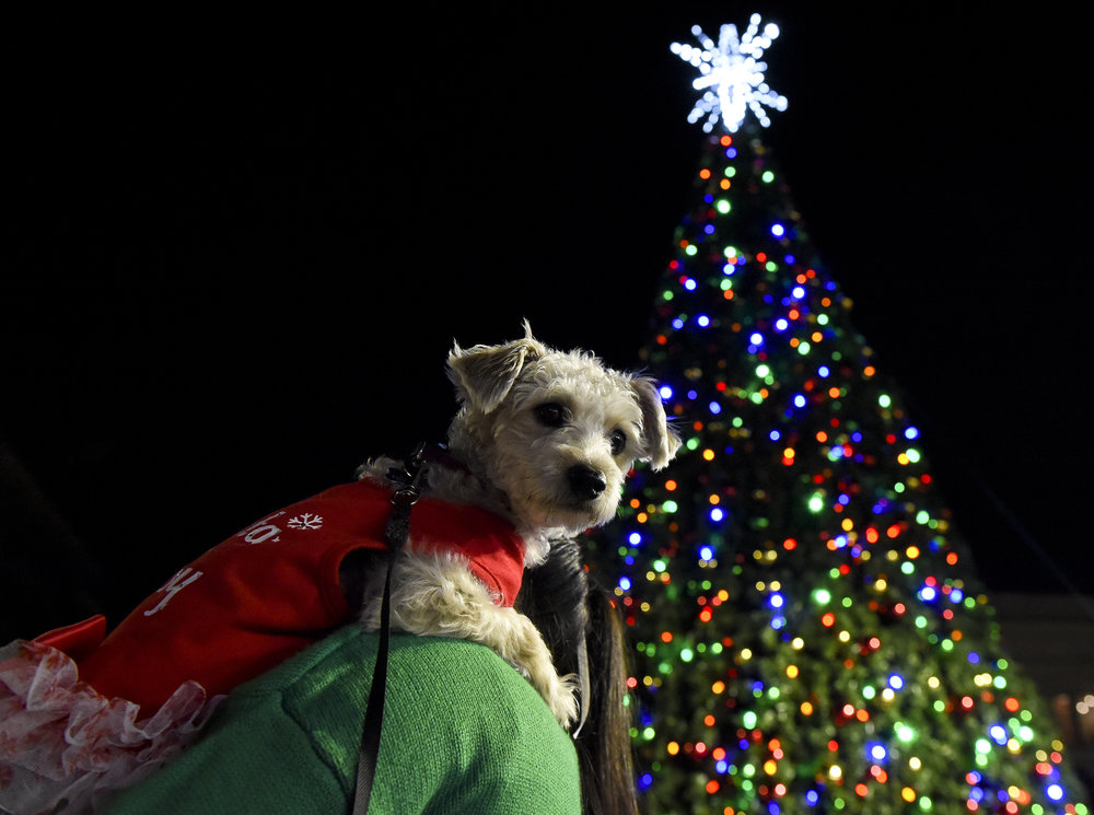 Natalie Kolb photo/Courtesy of Reading Eagle   This doggone cute pooch showed up last year at the Holiday Tree lighting ceremony.