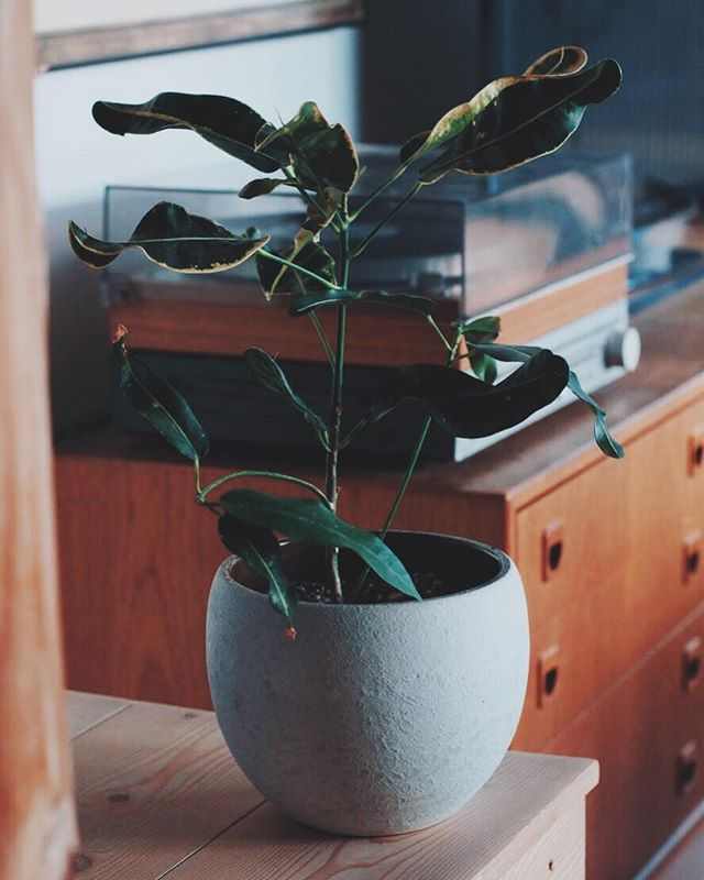 Pot from Germany, lunar glaze is brilliant imho. ⠀ (Proof to self, plant still alive)⠀ ⁣⠀ ⁣⠀ ______⁣⠀ .⁣⠀ .⁣⠀ .⁣⠀ #houseplants #germanpottery #mcmhome #midcenturymodern #danishmodern #recordplayer⁣ #lunar #westgermanypottery  #midcenturydecor #danishdesign #records⠀ #tropicalplants #pacificnorthwest #nanoosebay #indoorplants #planter #plantpot #greenthumb