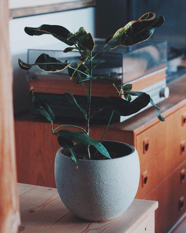 Pot from Germany, lunar glaze is brilliant imho. ⠀ (Proof to self, plant still alive)⠀ ⠀ ⠀ ______⠀ .⠀ .⠀ .⠀ #houseplants #germanpottery #mcmhome #midcenturymodern #danishmodern #recordplayer #lunar #westgermanypottery  #midcenturydecor #danishdesign #records⠀ #tropicalplants #pacificnorthwest #nanoosebay #indoorplants #planter #plantpot #greenthumb
