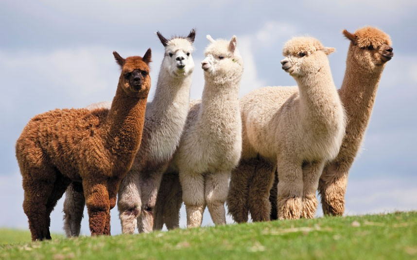 Baby alpaca refers to the first time the alpaca is sheared of the finest fibers. It is considered to be the most prestigious fiber in the world