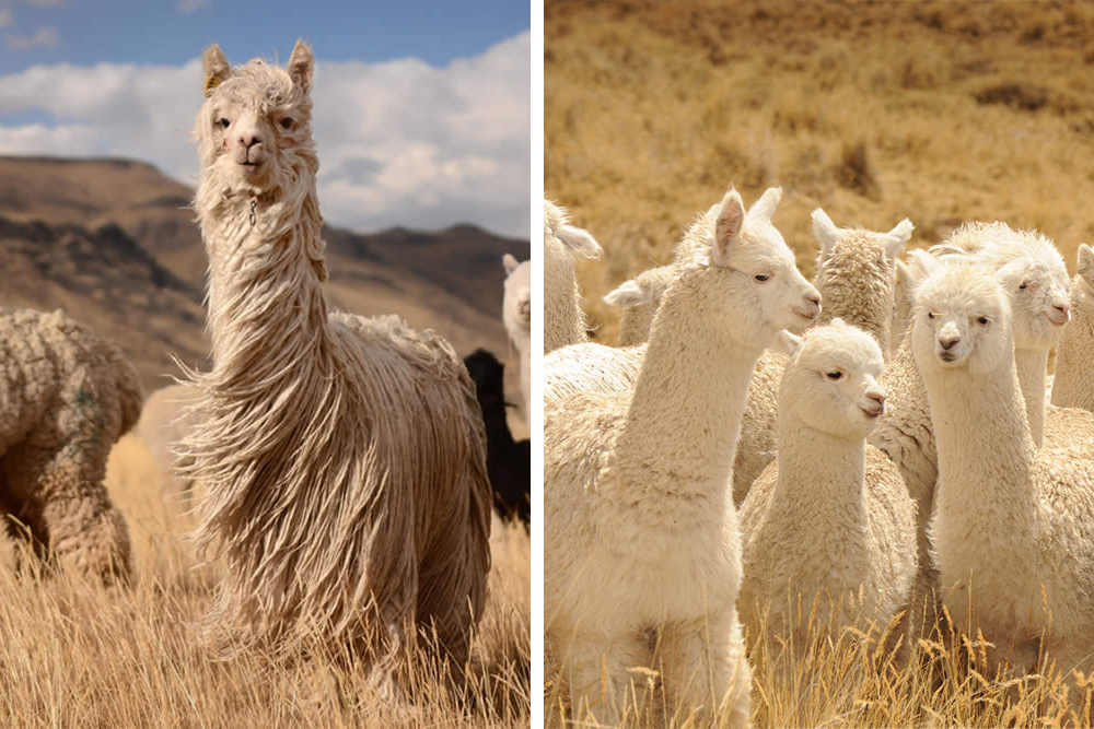 Suri to the left and Huacaya to the right. Image courtesy of Mallkini - Alpaca farm and adventure