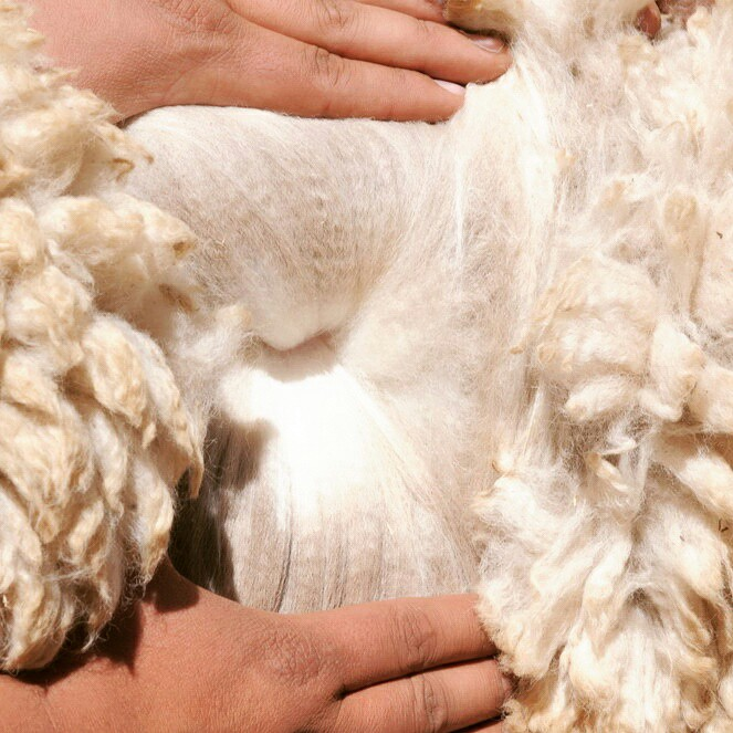 Fun fact: High quality alpaca wool is measured on a number of things, but one is the crimp. The crimp is what makes the fiber elastic and it is very easy to see when gentle pulling apart the thick fleece on the animal. It's the tiny 'curls' that the breeder wants. The more curls per inch, the higher the quality of the fleece.