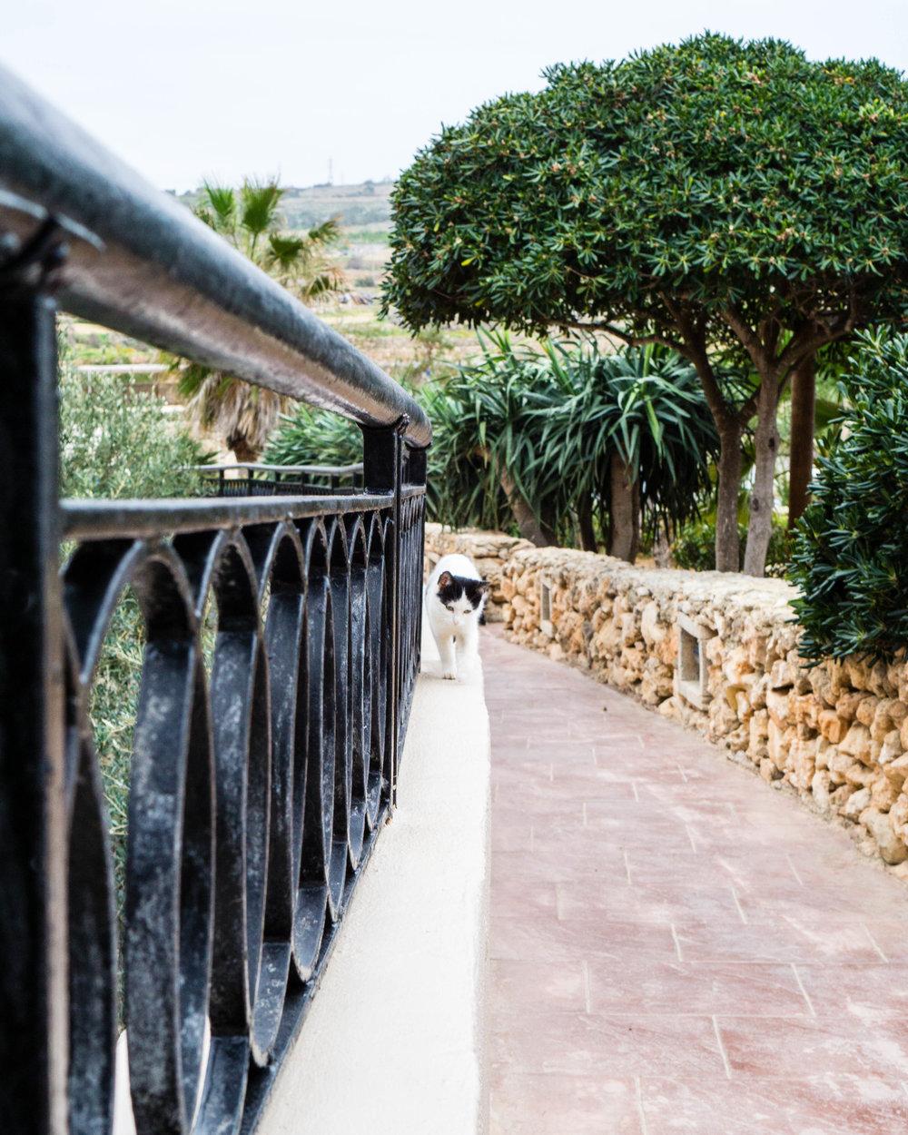 Cat, Malta