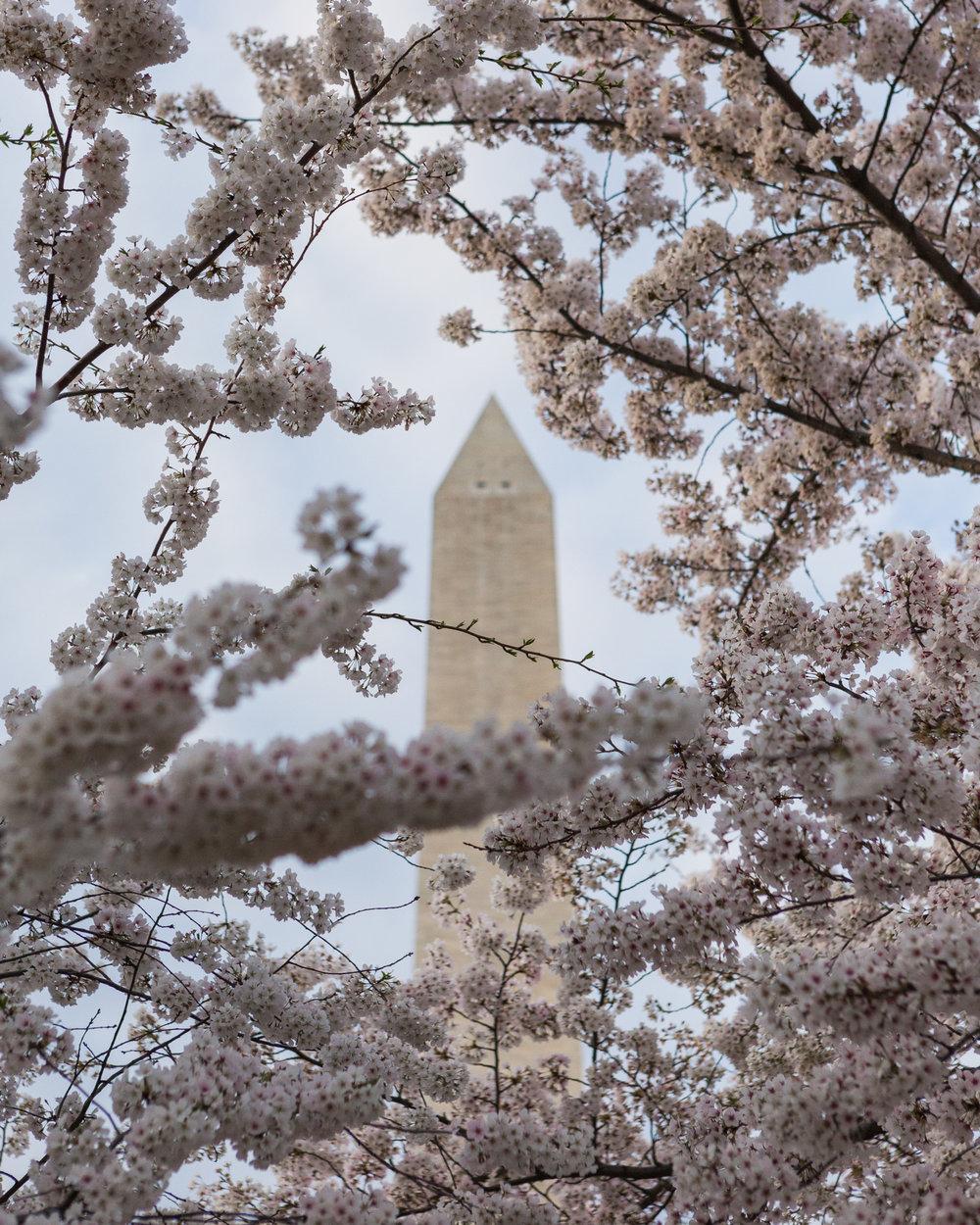 CherryBlossom-5.jpg