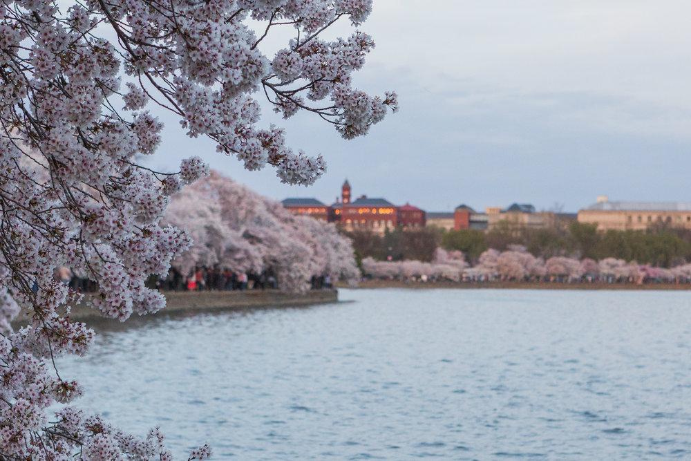 CherryBlossom-15.jpg