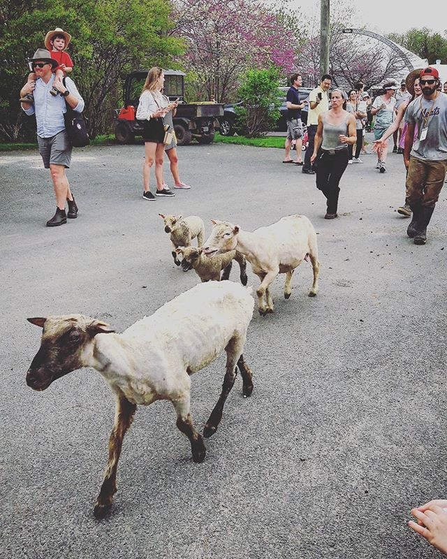 Naked sheep post sheep shearing festival @stonebarns!  #food #farming #festival #livestock #spring #summer #outdoors #weekend #animals #farmers #agriculture