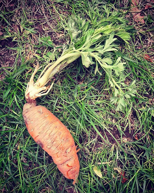 An overwinter #carrot? Straight out the ground? For #lunch? Well fancy that :) #food #farming #crops #organic #yum #land #rural #farmers #vegetables