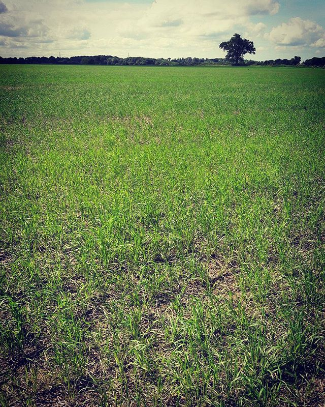 #june at the @ourfieldproject field!!!! The #spelt is growing! And the collective have decided not to use #nitrogen #fertalizer. Let's see how this little #crop does! Stay tuned for updates at ourfieldproject.org :) #food #farming #coop #community #countryside #adventure #grain