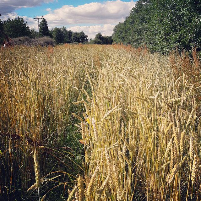 #food! Genetically diverse glorious food!  A beautiful #wheat population takes centre stage at #wakelyns #agroforestry :) #farming #future #landscape #nature