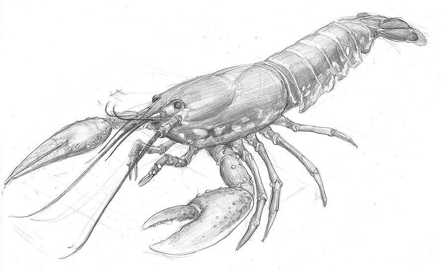 lobster_drawing.jpg