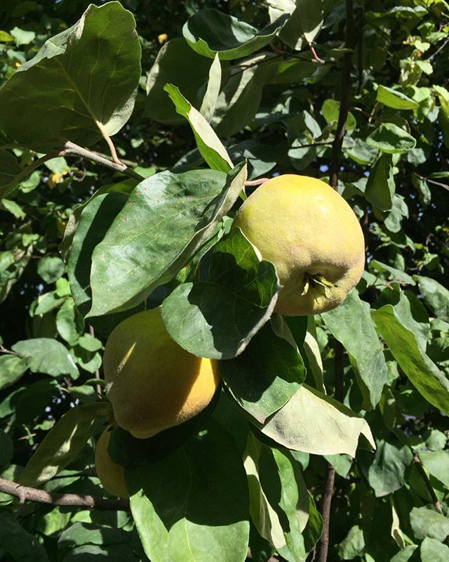 Harvesting quinces in the garden!