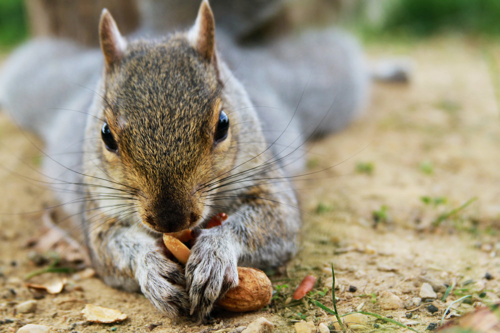 A people-friendly squirrel cracks open a peanut Thursday, Oct. 20, 2016 on the National Mall in Washington D.C.