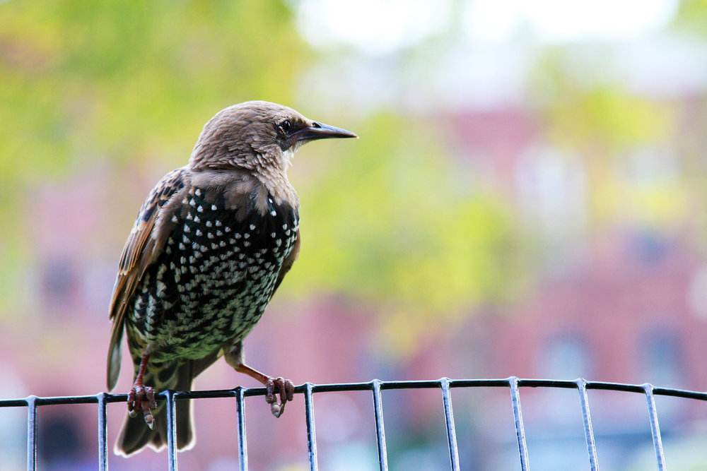 A spotted European Starling watches carefully as park goers enjoy an afternoon snack on the National Mall in Washington D.C. Thursday, Oct. 20, 2016.