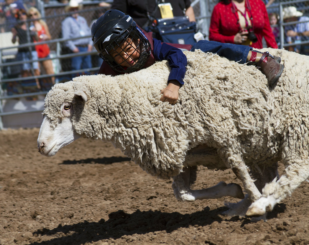 A toddler hangs on tight to his sheep's coat while competing in the 2016 Mutton Bustin' contest at the 91st Annual La Fiesta De Los Vaqueros in Tucson, Arizona Saturday, Feb. 20, 2016.