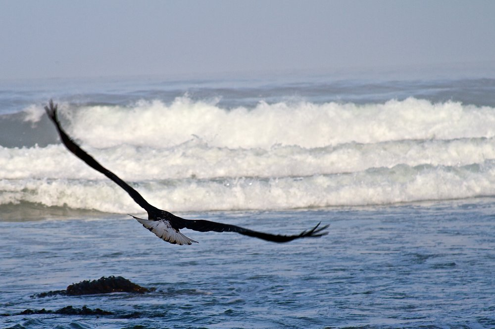 A bald eagle flies over the shore looking for food at Manzanita Beach in Manzanita, Oregon.