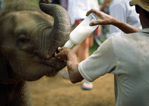 Bottle-fee-baby-elephants.jpg