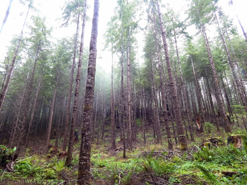 Fogged in Pacific Northwest Douglas-Fir tree stand in Montesano, WA home of the first tree farm, Clemons Tree Farm