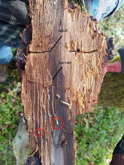 "Patrick give evidence of ""the adult fir engraver makes a horizontal ""gallery"" inside the bark of the tree, where it lays its eggs."" Photo Credit: Patrick Shults"