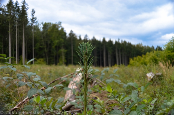 Douglas-fir regeneration unit with a 2-year old bareroot plug planted. Photo Credit: Talking Forests