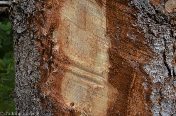 The Spruce beetle puts holes in the bark and cambium layer of the entire tree, making it weak and susceptible to outside elements. Photo Credit: Talking Forests