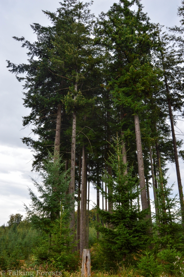 The only 39-meter-tall 100-year-old Douglas-fir in Germany! Photo Credit: Talking Forests