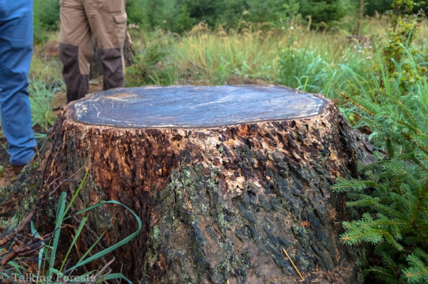 The stump from 100-year-old Douglas-fir in Germany. Photo Credit: Talking Forests