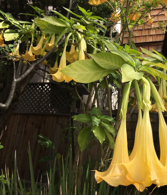 YellowDatura.jpg