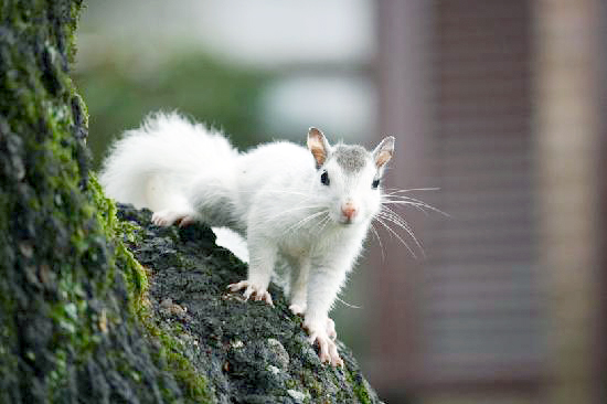 white-squirrel-in-brevard.jpg