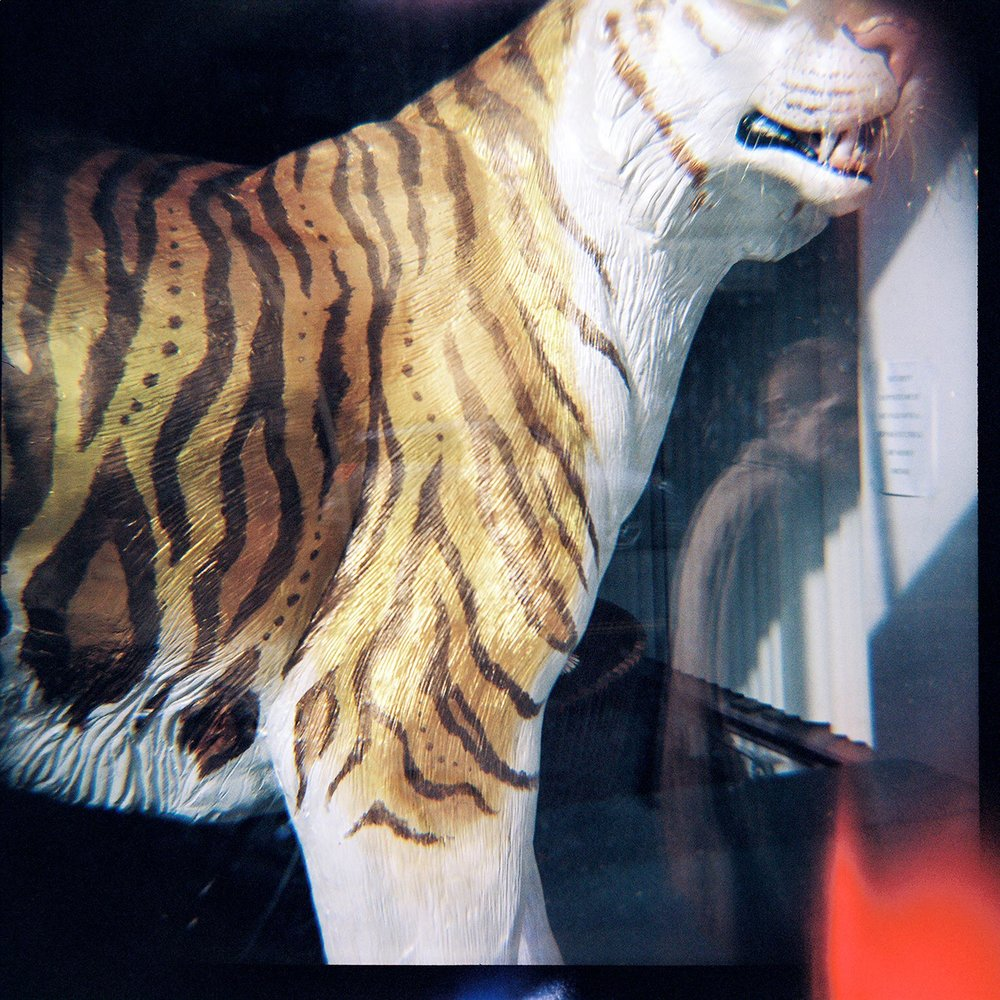 portland-tiger-on-street.jpg