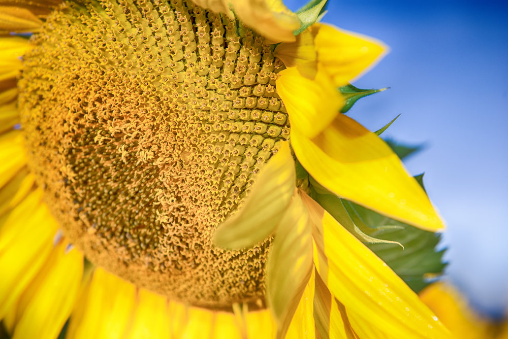Sunflower macro shot