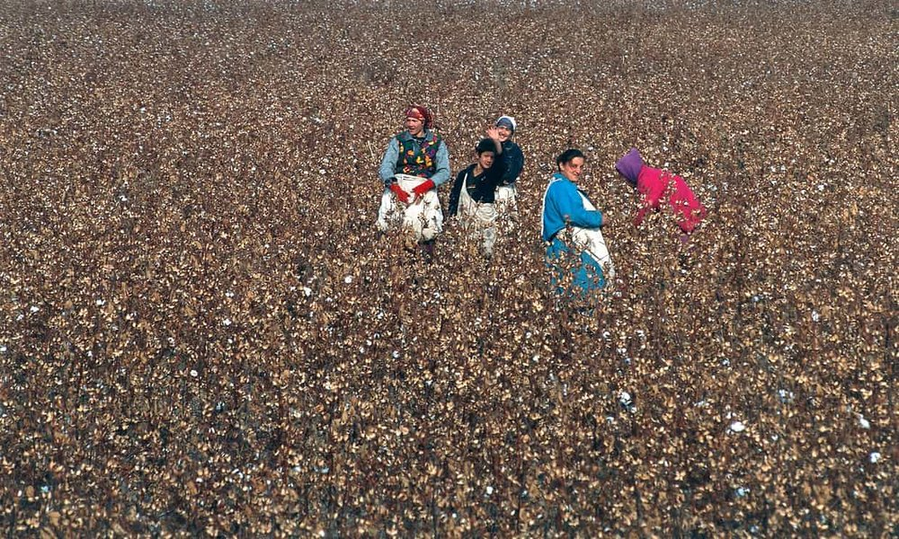Workers pick cotton in a field in Uzbekistan. Rights groups say their investigations show systematic use of forced labour throughout the cotton sector. Photograph: C Sappa/Alamy