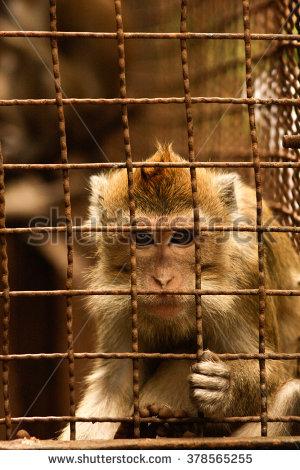 stock-photo-caged-monkey-378565255