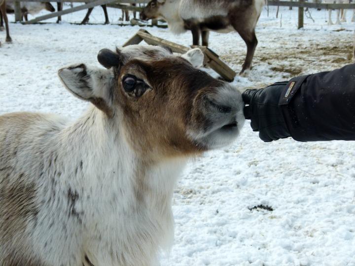 Reindeer 14