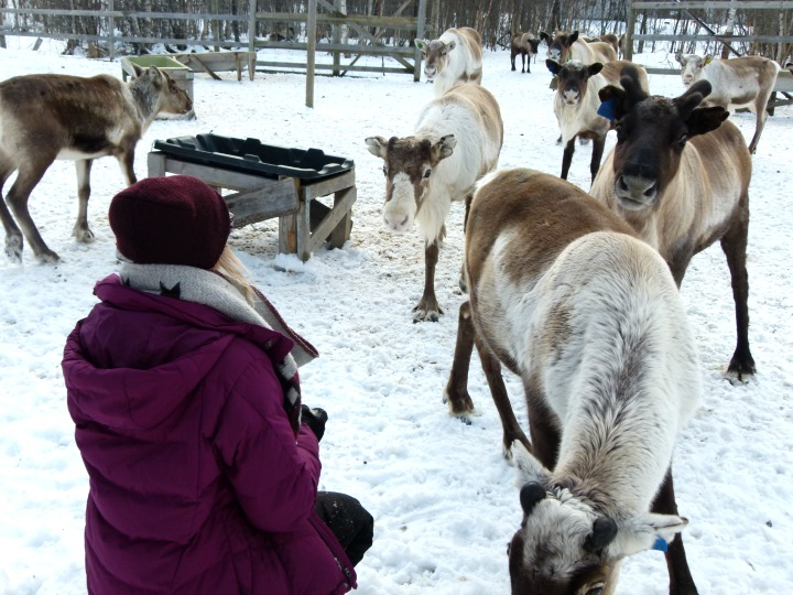 Reindeer-12.jpg