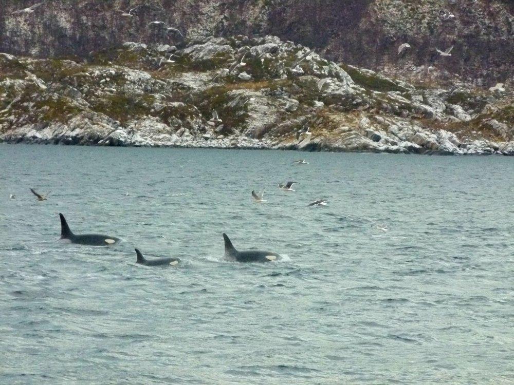 whale safari arctic explorer tromso