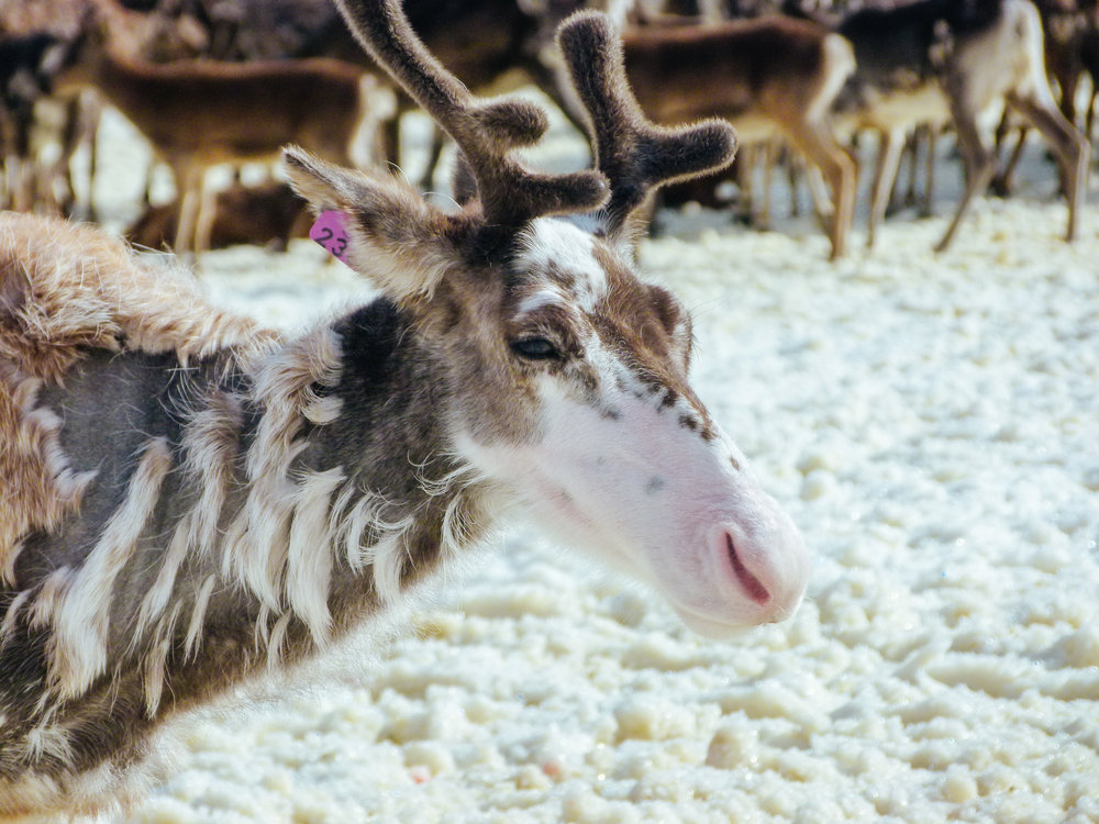 If a reindeer looks like a plucked chicken, it's doesn't have to be because it's sick