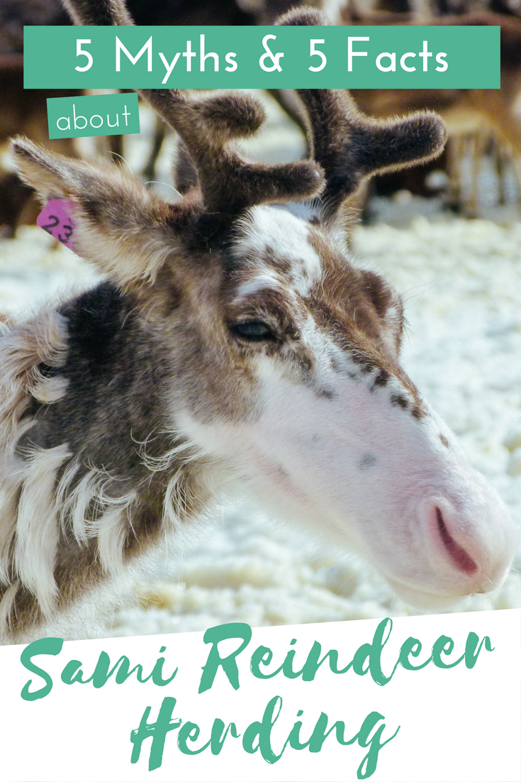 Did you know that there's actually a connection between Christmas and reindeer and that it isn't just made up? Click through to read more about Sami reindeer herding in Scandinavia!