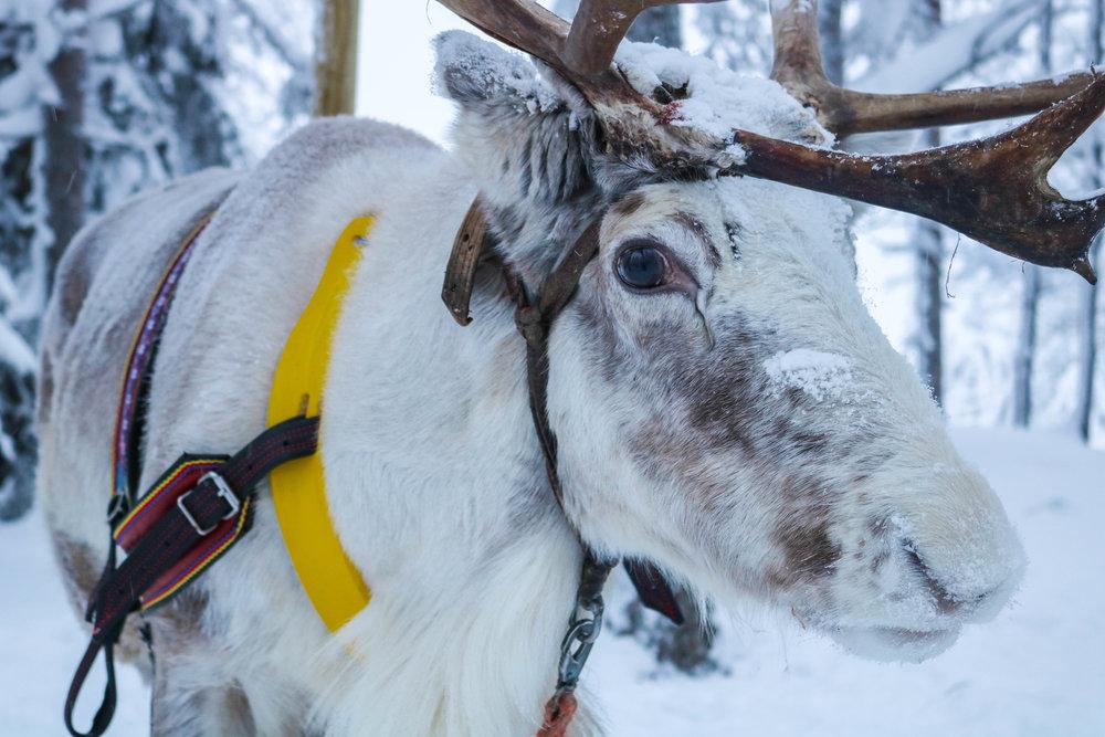 reindeer-sledding lapland