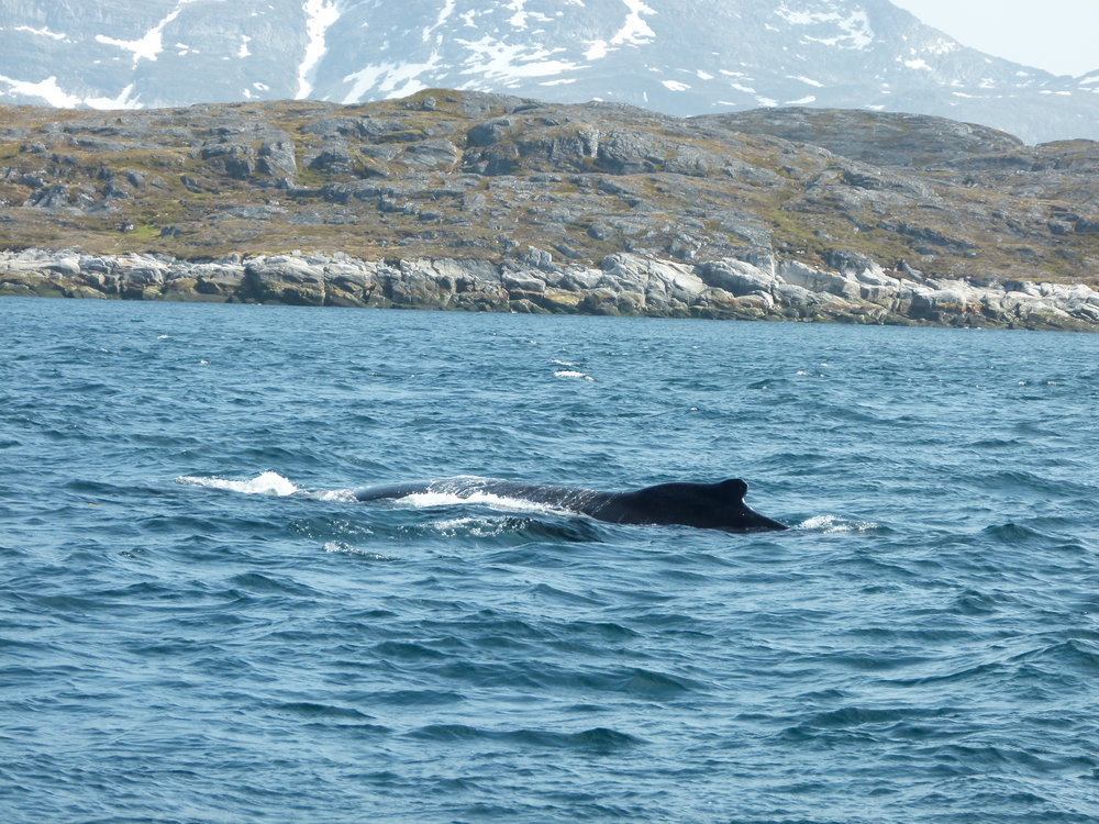 whale-watching greenland
