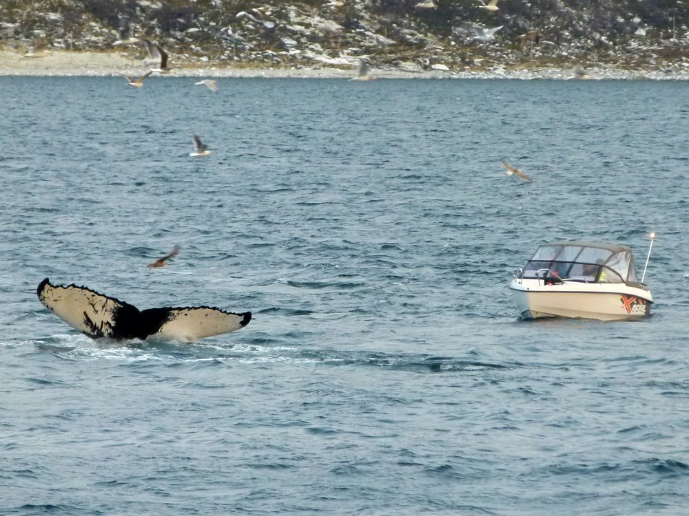 whale-watching tromsø