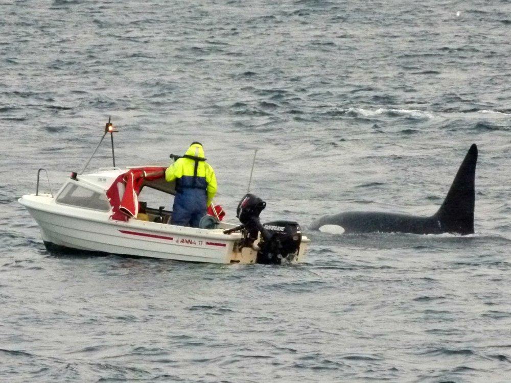An orca close to Kvaløya in Tromsø, Norway