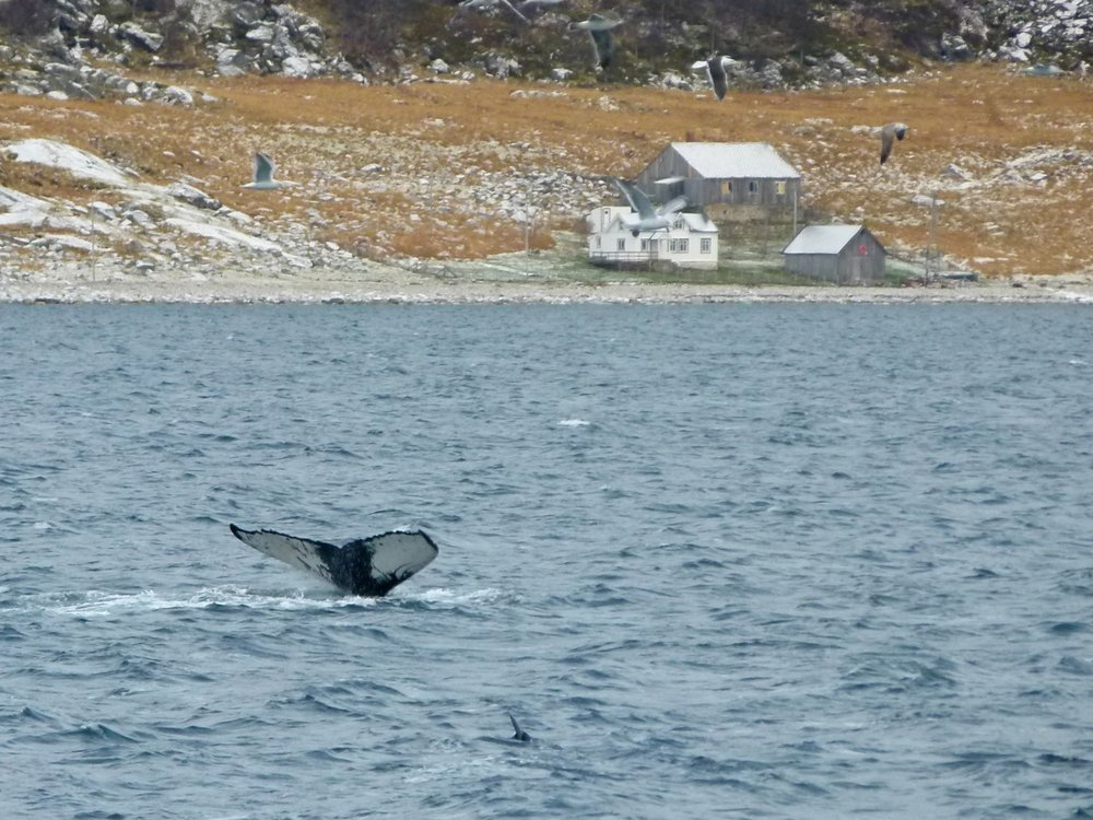 Humpback whale in the fjords of Tromsø
