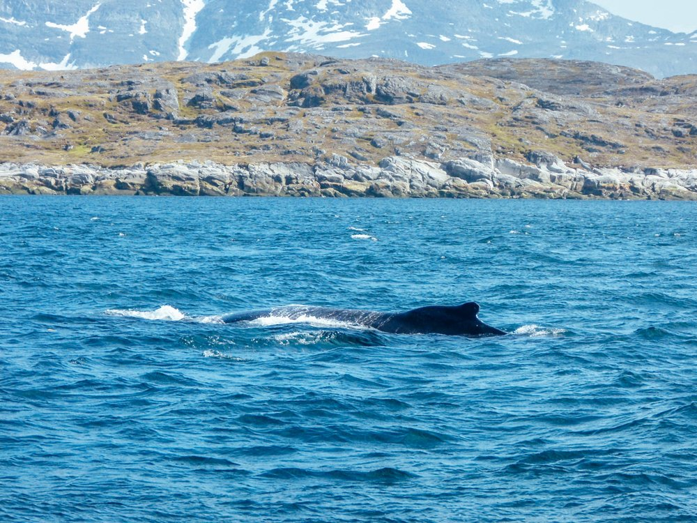 The first whale I've ever personally seen - a humpback just outside of Nuuk in Greenland
