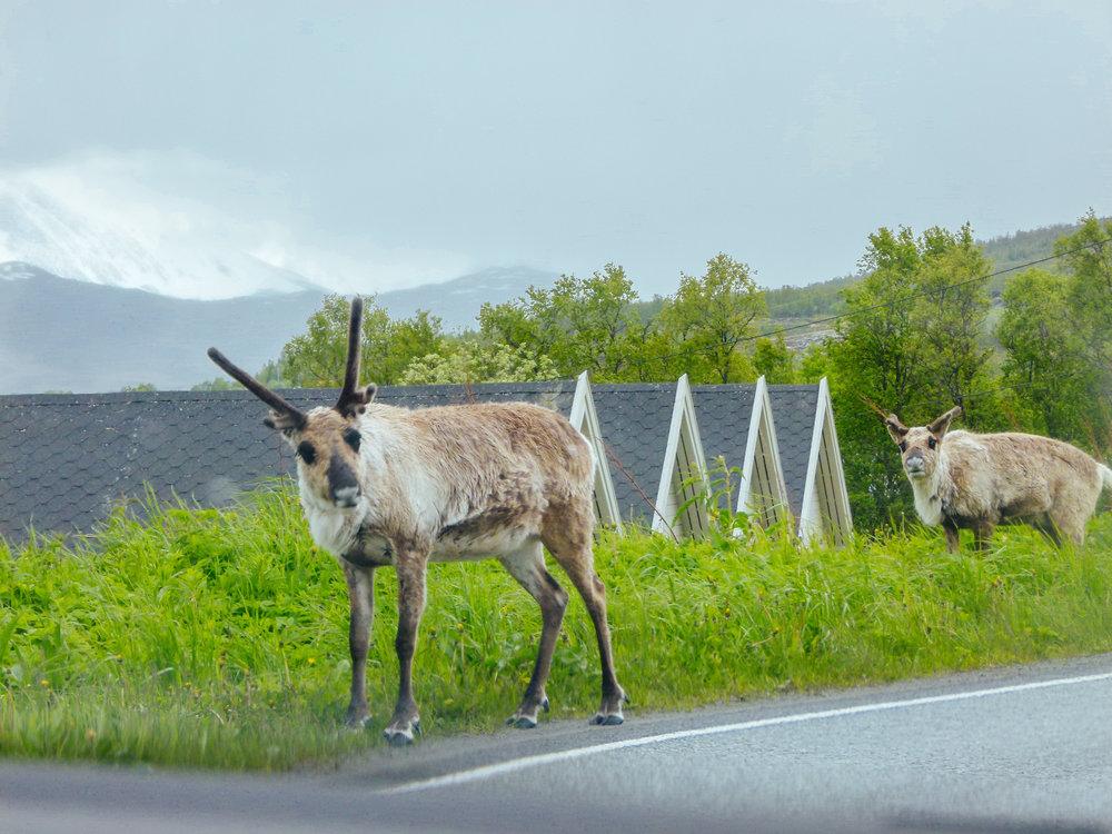 reindeer on the roads tromsø