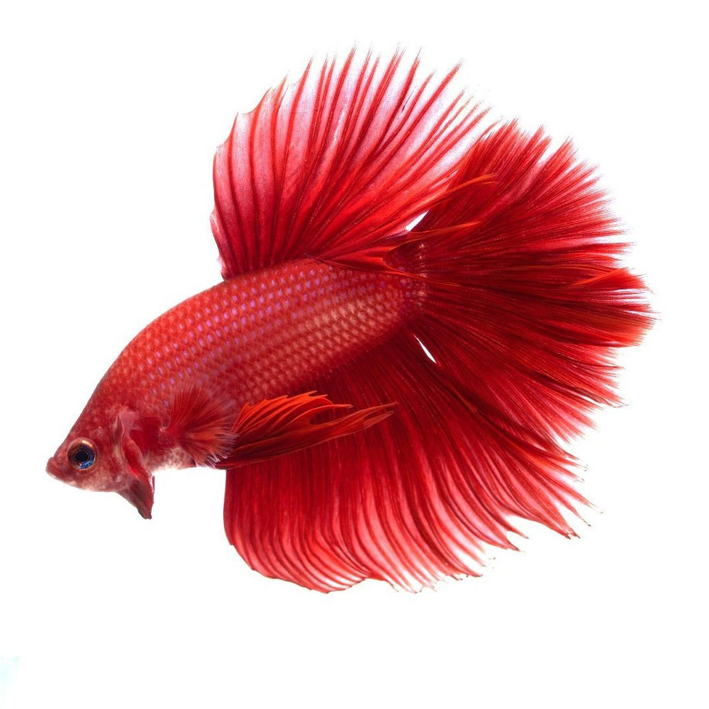 red-halfmoon-betta-white-background-21.jpg